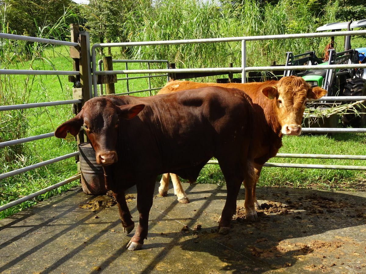 Nouveaux pensionnairer de la station d'élevage de Taravao, Oh my god et Orion sont 2 taurillon reproducteurs. Photo Valérie ANTRAS. Direction de l'agriculture de Polynésie française, juin 2019.