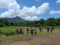 Champ semencier de cocotiers à Raiatea. Pendant trop longtemps, les cocoteraies de Polynésie ont été développées sur la base d'un nombre trop limité de variétés. La Polynésie française dispose pourtant d'une belle diversité variétale. Un inventaire en cours des variétés de cocotier présentes sur le territoire en a déjà identifié plus de 30. La Direction de l'Agriculture souhaite engager la filière vers une diversification de l'offre en variétés de cocotiers et vers une meilleure conservation des variétés locales.