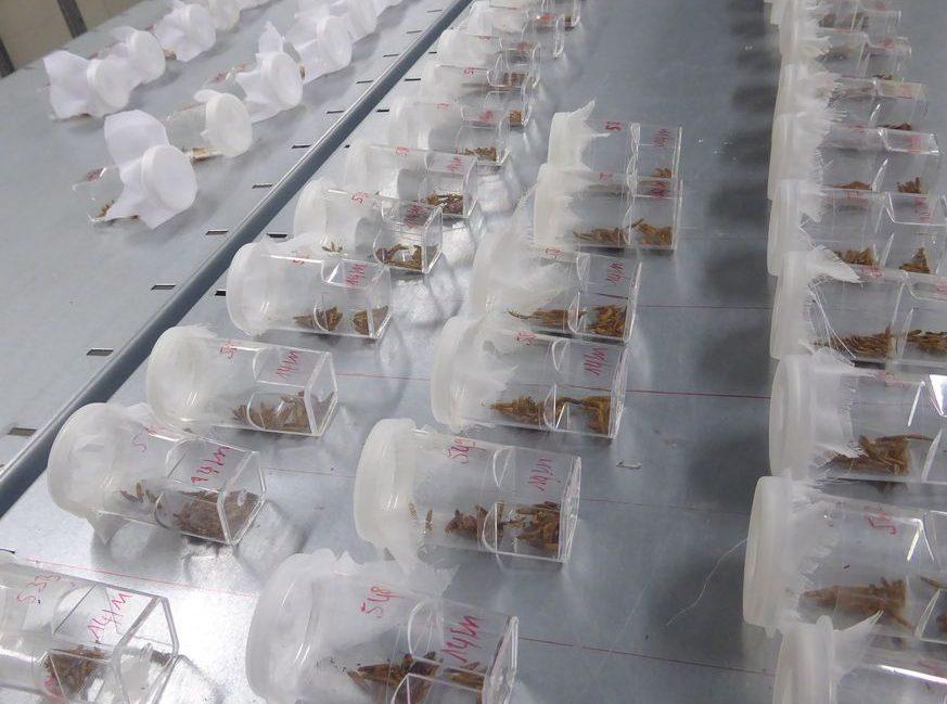 La Direction de l'Agriculture (DAG) mène un programme de lutte biologique contre le Brontispa, un insecte ravageur des cocotiers. Ainsi, les micro-guêpes Tetrastischus produites par le centre de recherche agronomique de la DAG, sont lâchés dans les zones très infestées, où elles vont se reproduire, aux dépens de Brontispa, puis se multiplier, se disperser et contribuer à la diminution de cette peste dans toute l'île.