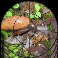 L'escargot carnivore (Euglandine)