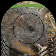 Les rats et souris