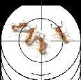 La petite fourmi de feu (PFF)